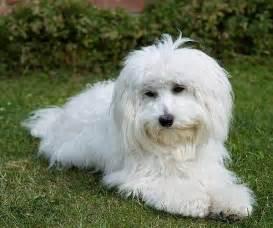 Bichon Maltese Dogs