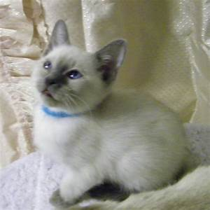 Blue Point Siamese Kittens - Black Boob Pics