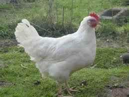 Chemin Des Poulaillers : poule pondeuse oeuf blanc ~ Melissatoandfro.com Idées de Décoration