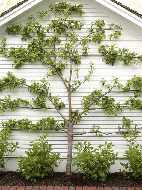 espaliered trees green walls trellised vines espalier trees centsational girl