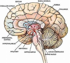 Human Anatomy. Brain Anatomy Diagram Quiz: brain anatomy ...