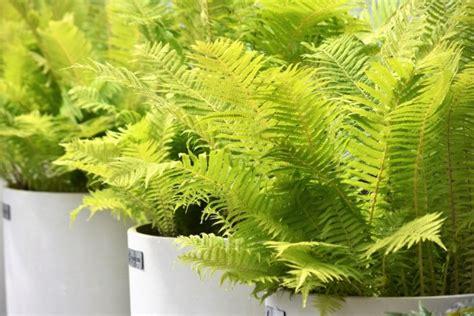 felce da vaso piante da appartamento le 8 migliori per la nostra casa