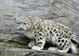 wild cat conservation   International Society For ...