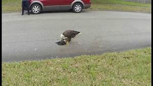 American Bald Eagle Eats Cat - YouTube