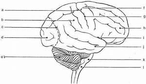 Blank Diagram Of The Brain