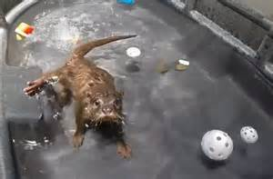 Cute Baby Otters Swimming