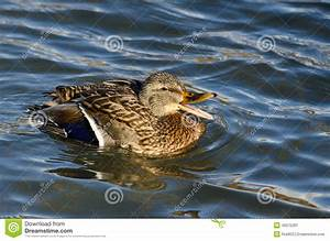 Mallard Duck Quacking And Swimming In The Water Stock ...