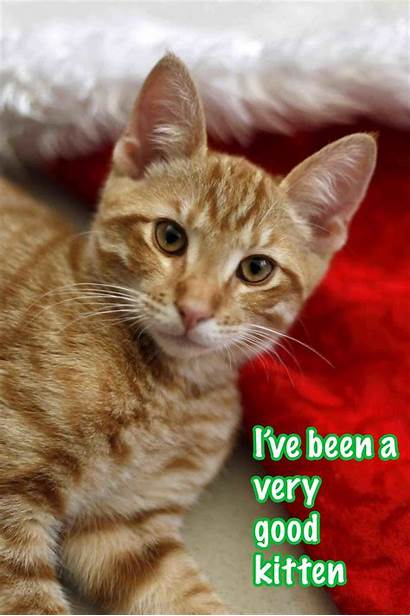 Funny Christmas Kittens Kitten Merry Wallpapers Wishes