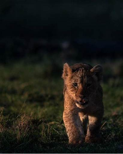 Sher Lion Lioness