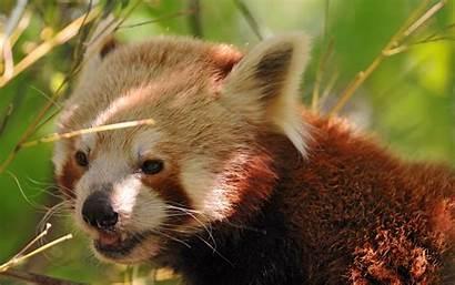 Panda Desktop Wallpapersafari Wallpapers Backgrounds Animal Code