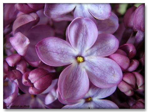 Floare de liliac cu cinci petale / Anomalous lilac flower … | Flickr