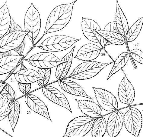 vintage leaves illustration  art  graphics fairy