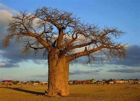 Old, Unusual Trees Of Africa Baobab