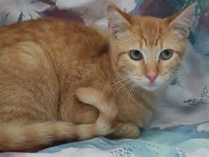 orange cat breeds purrfect partners a cat rescue and adoption billy