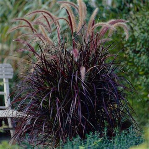 purple grass purple fountain grass pennisetum for sale brighter blooms nursery
