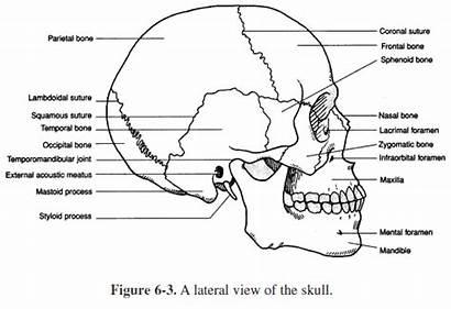 Anatomy Bones Physiology Human Worksheets Skull Labeling
