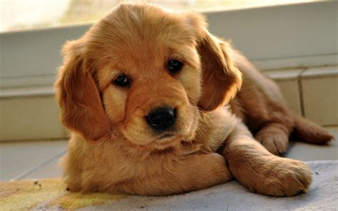 top 10 puppies adopt me faces of 2013 petfinder fotos de c 227 es da ra 231 a labrador fotoswiki org
