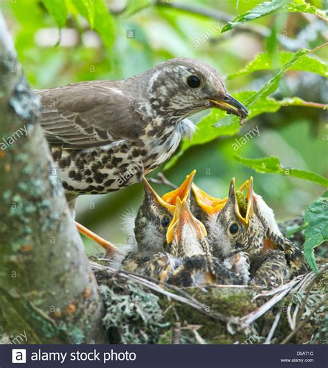 A Thrush Turdus Ericetorum Feeding Four Fledgling Baby