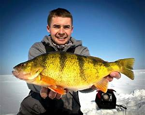 The best yellow perch fishery on Earth? • Outdoor Canada  Perch