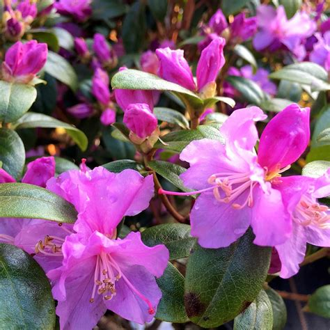 how fast do azaleas grow buy dwarf rhododendron rhododendron praecox delivery by crocus