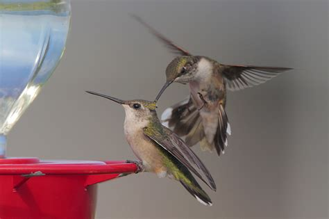 ruby throated hummingbird migrating marvel 09 15 2012