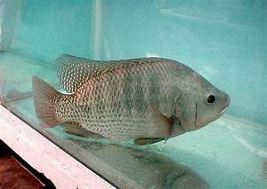Nice Tilapia photo and wallpaper. Cute Nice Tilapia pictures