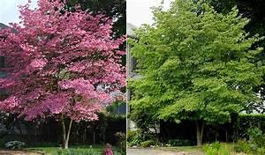 Cornus Florida Rubra : cornus florida landscape plants oregon state university ~ Frokenaadalensverden.com Haus und Dekorationen