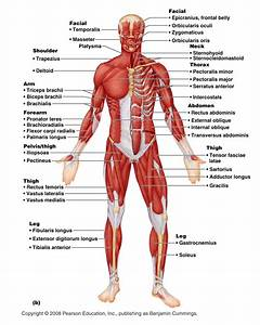 System Diagram Labeled 209 Human Muscular System Diagram Labeled