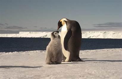 Penguin Emperor Theme Feeding Animal Chick Adult