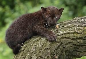 Twin Baby Panthers Born At Berlin Zoo - Zimbio