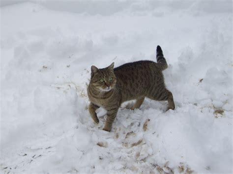 gatto delle nevi in the panchine il gatto delle nevi petpassion