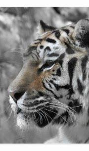 White tiger natural wild animal postcard | Zazzle.com ...