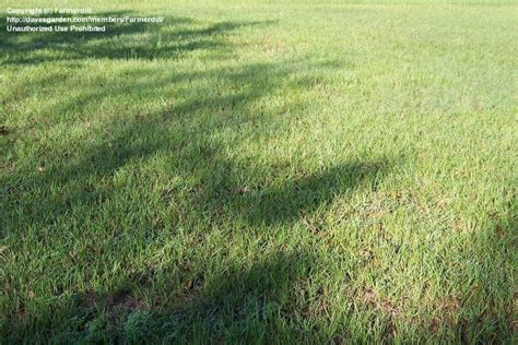 Bahia Grass 'pensacola' (paspalum