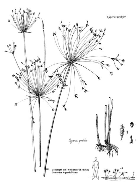 cyperus prolifer ufifas center  aquatic  invasive