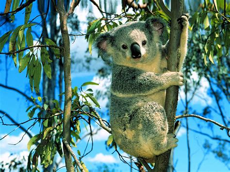 koala animals library