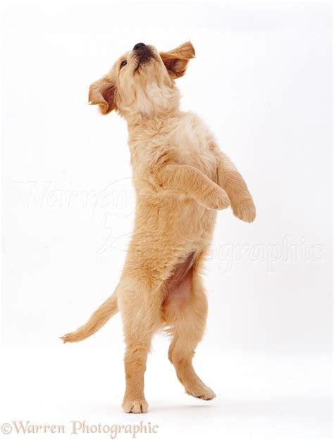 dog golden retriever puppy photo wp