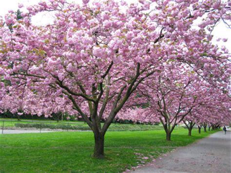 pink flowering cherry tree stroll uw cus on updated brockman tree tour website