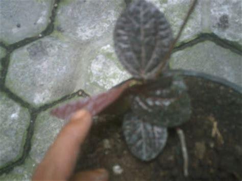 bibit tanaman obat sirih hitam sirih wulung versi 2 aneka sirih