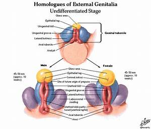 Urinary System And Male And Female Genital Systems Anatomy