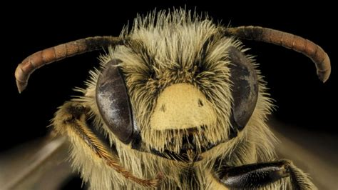 gambar lebah  cantik  unik