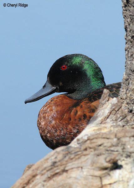 Chestnut Teal Male Duck Decoys Beautiful Birds Waterfowl
