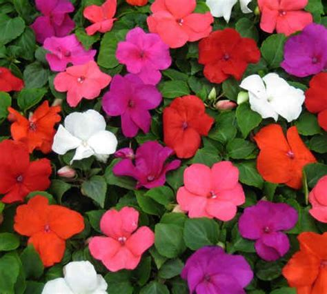 impatiens flower picture 100 best images about impatiens on pinterest gardens sun and the shade