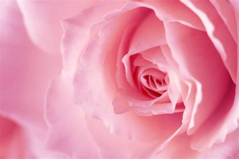 Pink Roses Background Pink Backgrounds Wallpaper Cave