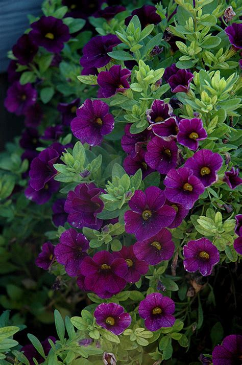 Aloha Midnight Purple Calibrachoa Calibrachoa Aloha