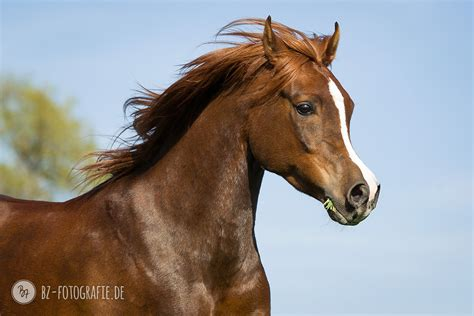 fotoshooting mit pferd araber bourji bz fotografie