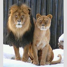Majestic Lion & Lioness  Pet Photography