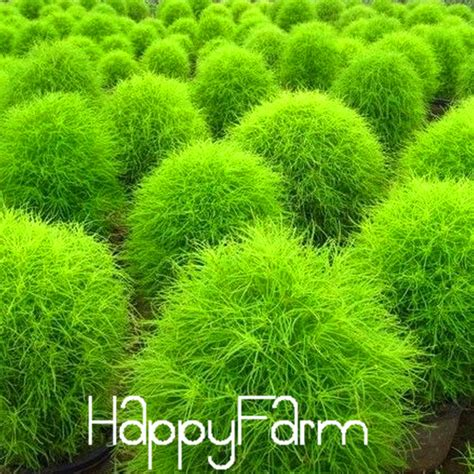 buy kochia scoparia grass aliexpress com buy 50 pieces lot grass seeds perennial grass burning bush kochia scoparia