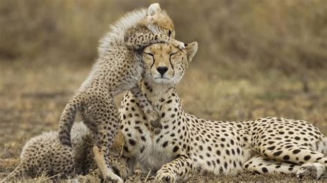 female cheetah called referencecom