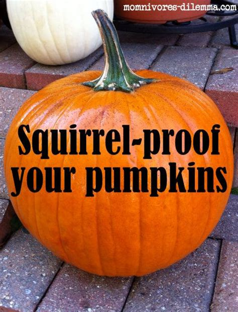 Does Hairspray Keep Squirrels Away From Pumpkins by Squirrel Proof Your Pumpkins Coat W Hairspray Gt Gt Hmm My