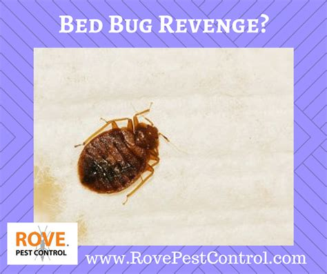 bed bug rove pest